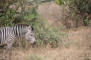 Zebra in Lake Manyara National Park