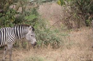 Zebra in Lake Manyara National Park